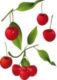 branches Cherryet Fotografering för Bildbyråer