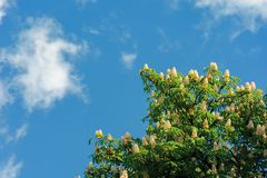 Branches of chestnut tree in blossom. Beautiful summer nature scenery. blue sky with fluffy clouds on the background royalty free stock photography