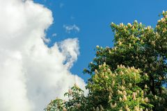 Branches of chestnut tree in blossom. Beautiful summer nature scenery. blue sky with fluffy clouds on the background stock photos