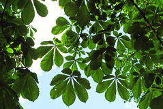 Branches of a chestnut tree Royalty Free Stock Photography