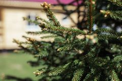 Branches christmas tree on the background of wooden buildings stock photo