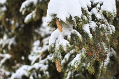 Branches of a Christmas tree covered with snow and cones Royalty Free Stock Images