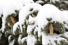Branches of a Christmas tree covered with snow and cones Stock Photography