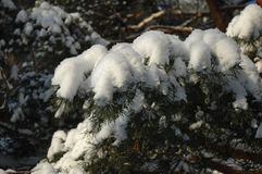 Branches of a Christmas tree covered with snow natural spruce af Royalty Free Stock Image