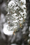 Branches of a Christmas tree covered with snow Royalty Free Stock Photos