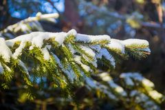 Branches of a Christmas tree covered with snow natural spruce winter background. russia Stock Photos