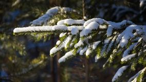 Branches of a Christmas tree covered with snow natural spruce winter background. russia Stock Photography