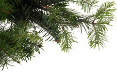Branches of christmas tree Royalty Free Stock Images