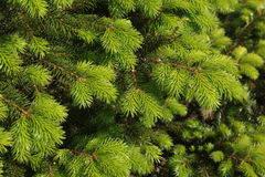 Branches of a Christmas tree Royalty Free Stock Images