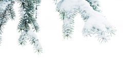 Branches of a Christmas tree with snow on a white background of Stock Photos