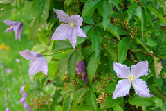 Branches of clematis with violet flowers and wide grapes. Many clematis blossoming branches with green leaves and lilac flowers in a daylight and some wild grape Royalty Free Stock Photos
