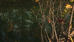 The branches of the coastal bush dropping foliage against the background of the autumn river stock video