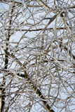 Branches Coated in Ice after an Ice Storm. Stock Image