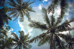 Branches of coconut palms under blue sky and Royalty Free Stock Photos