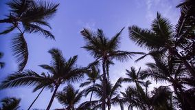 Branches of coconut palms under morning purple sky stock video footage