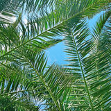 Branches of a coconut tree Royalty Free Stock Photo
