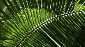 Coconut trees and palm leaves Waving. Branches of coconut trees waving slowly in the wind stock footage
