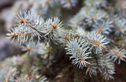 Branches of the Colorado blue spruce. Evergreen branches of the Colorado blue spruce stock photography
