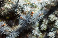 Branches of the Colorado blue spruce Royalty Free Stock Photos
