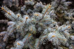 Branches of the Colorado blue spruce Stock Images