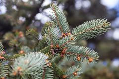 Branches of the Colorado blue spruce Royalty Free Stock Photo