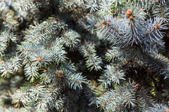 Branches of the Colorado blue spruce. Evergreen branches of the Colorado blue spruce royalty free stock photo