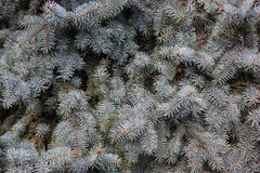 Branches of the Colorado blue spruce. Evergreen branches of the Colorado blue spruce stock images