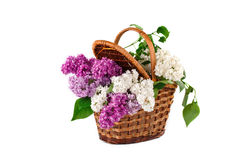 Branches are colored lilac in a wicker basket. Stock Photo