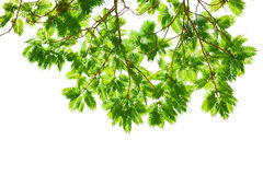 Branches of Colville's Glory, big tree Stock Photography
