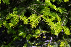 Branches of conifer background Royalty Free Stock Images