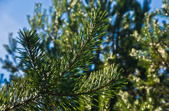Branches of coniferous tree at autumn morning sunlight Stock Image