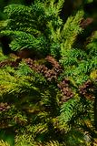 Branches of coniferous tree Cryptomeria Japonica, also called Japanese Sugi Pine, Japanese Red-Cedar or simply Sugi, Royalty Free Stock Image