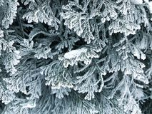 Frost on the branches of the Christmas tree royalty free stock photography