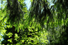 Branches of coniferous tree Royalty Free Stock Image