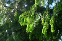 Branches of coniferous tree Royalty Free Stock Images