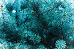 Branches of a coniferous tree. the smell of Christmas. stock photo