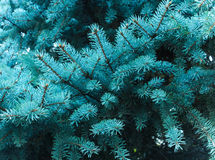 Branches of a coniferous tree. the smell of Christmas. royalty free stock image