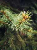 Branches of coniferous tree with swollen young buds. royalty free stock photography