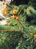 Branches of coniferous tree with swollen young buds. stock image