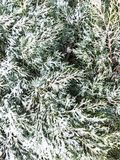 Branches of coniferous tree under white snow. Studio Photo Royalty Free Stock Images