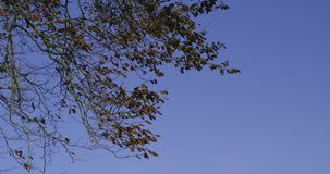 Branches contrasting against clear blue sky. In the countryside stock video footage