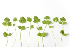 Branches Of Coriandrum Sativum In A Row. On White Background royalty free stock images