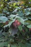 Branches of Corylus maxima. Reddish leaves and fruit of Corylus maxima plant stock photo