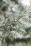Branches couvertes par la gelée Photographie stock libre de droits
