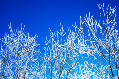 Branches covered with hoarfrost on blue sky background Royalty Free Stock Images
