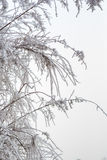 Branches covered by hoarfrost Royalty Free Stock Photography