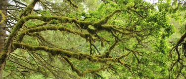Moss covered branches Stock Images