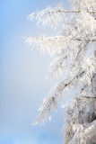 Branches covered with snow. Against a blue sky Royalty Free Stock Photography