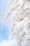 Branches covered with snow. Against a blue sky Stock Photo