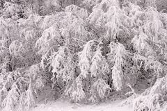 Branches,covered,in,snow background Stock Photography